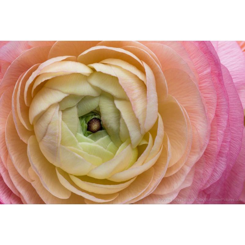 Pink Cloni Ranunculus