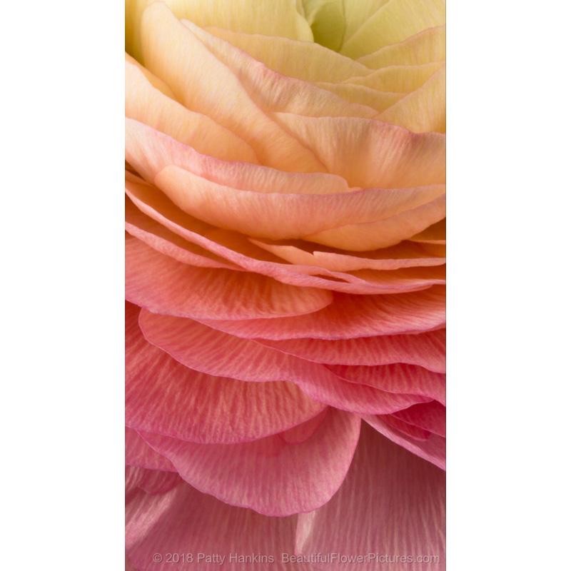 Petals of a Pink Cloni Ranunculus