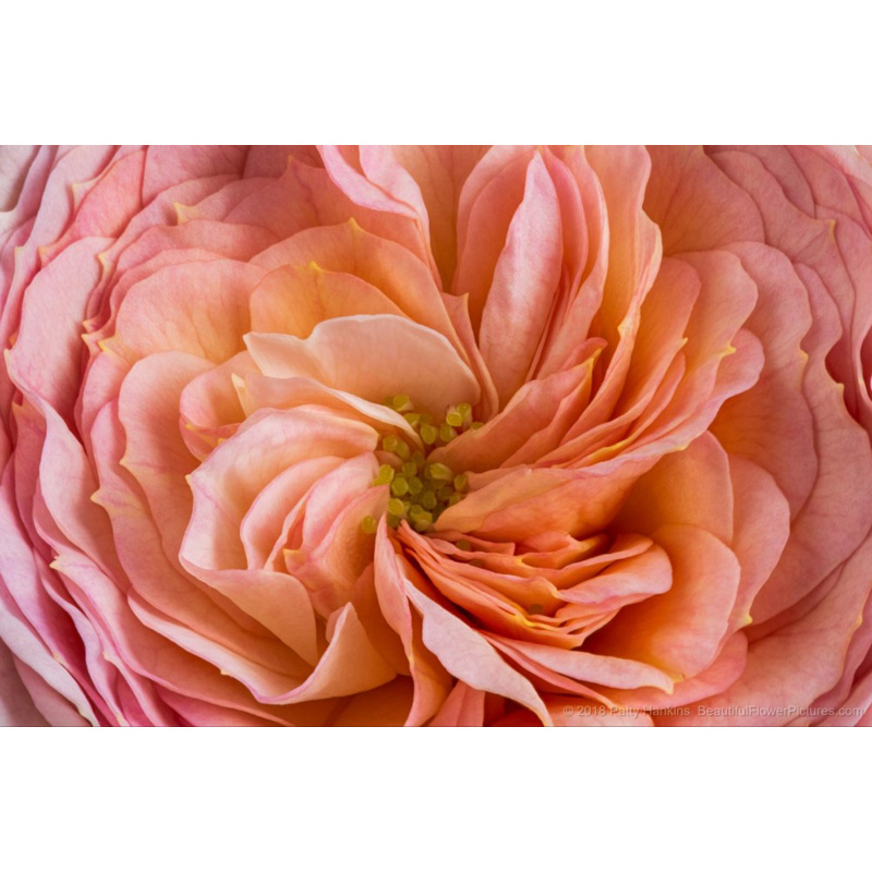 Blush Parasol Spary Rose (peach)