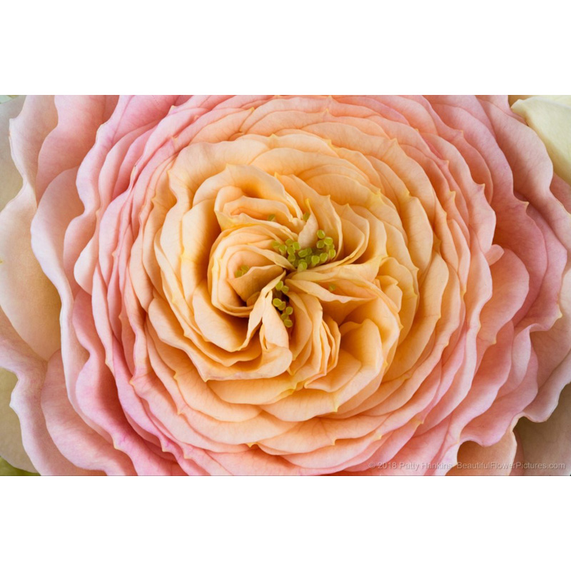 Blush Parasol Spary Rose (yellow & pink)